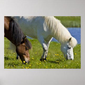Icelandic Horses in western Iceland Print