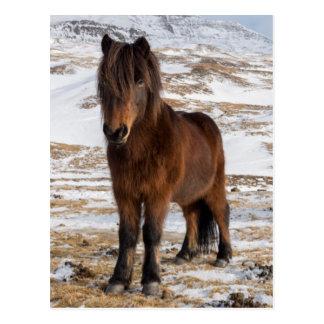 Icelandic Horses in Winter Postcard