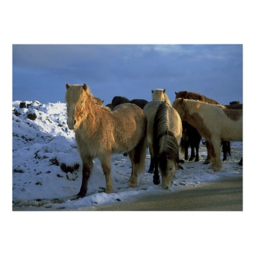 Icelandic Horses in Winter Posters