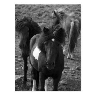 Icelandic Horses IV Postcard