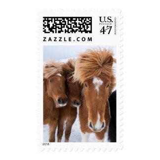 Icelandic Horses nuzzle, Iceland Postage