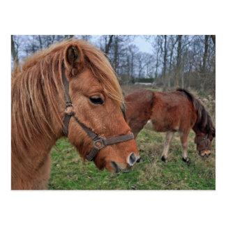 Icelandic horses postcard