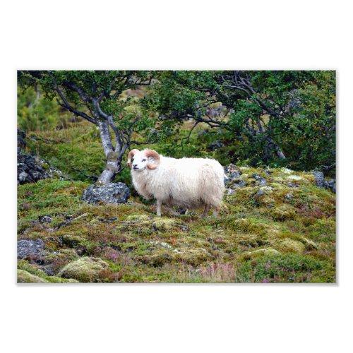 Icelandic Ram Art Photo Print