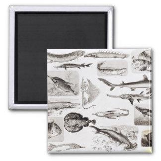 Ichthyology- Elasmobranch, Ganoid 2 Inch Square Magnet
