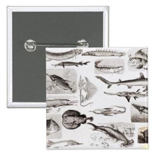 Ichthyology- Elasmobranch, Ganoid Button