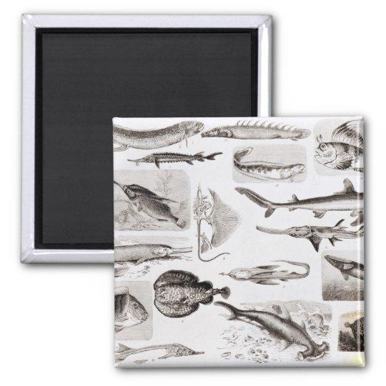 Ichthyology- Elasmobranch, Ganoid Magnet