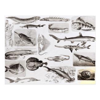 Ichthyology- Elasmobranch, Ganoid Postcard