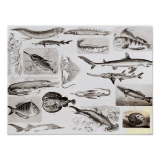 Ichthyology- Elasmobranch, Ganoid Poster
