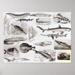 Ichthyology- Elasmobranch, Ganoid Posters