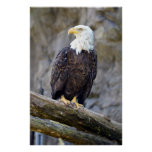 Iconic American Bald Eagle Poster