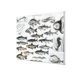 Ictiología, pescados oseos, Marisipobranchs Lona Estirada Galerias