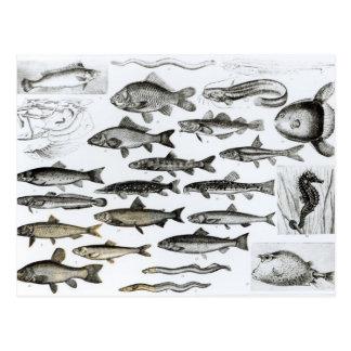 Ictiología pescados oseos Marisipobranchs Postal