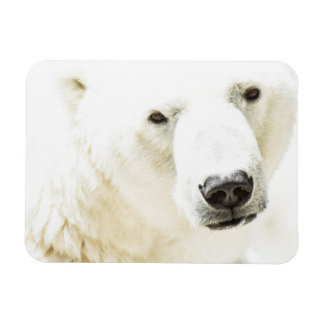 Icy stare of a polar bear magnet