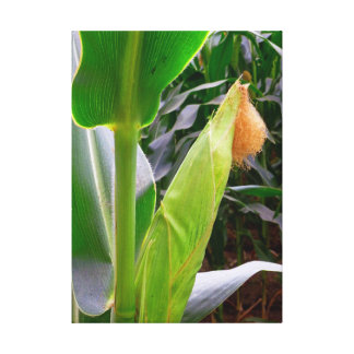 Idaho Corn Stretched Canvas Prints