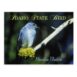 Idaho State Bird - Mountain Bluebird Post Cards