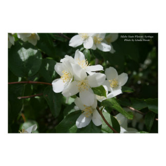 Idaho State Flower: Syringa Poster