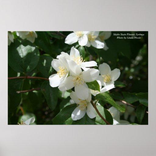 Idaho State Flower: Syringa Print