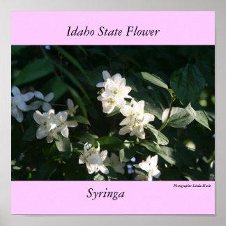 Idaho State Flower, the Syringa Poster