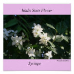 Idaho State Flower, the Syringa Posters