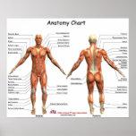 IFA Anatomy Chart Poster