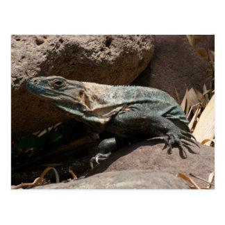 Iguana curiosa tarjeta postal