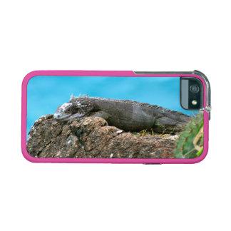 Iguana de mirada agradable de St Thomas U.S.V.I