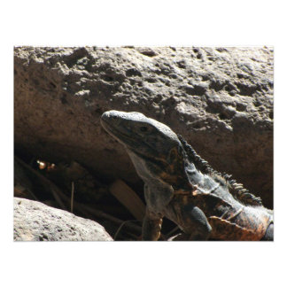 Iguana de punta impresiones fotográficas