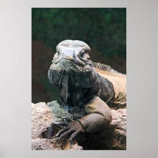 Iguana del rinoceronte que le mira poster