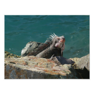 Iguana en St Thomas Póster