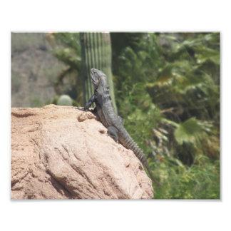 iguana Espinoso-atada Fotografía