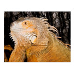 Iguana iguana postcard