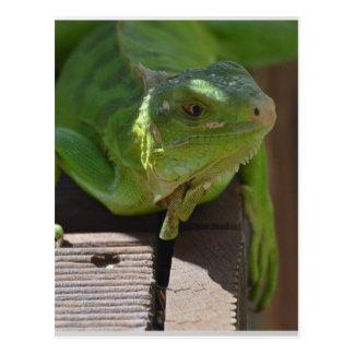 Iguana in the Tropics Postcard