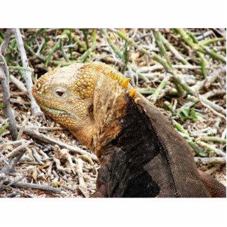 Iguana, Isla Seymour, Galapagos Is. Cutout