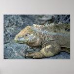 Iguana, islas de las Islas Galápagos Impresiones