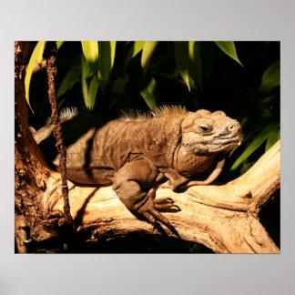 Iguana jamaicana en peligro, collei de Cyclura Póster