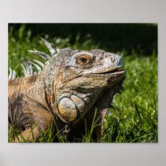 Iguana Lizard Poster