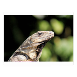 Iguana looking at you postcard