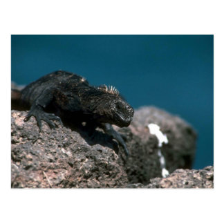 Iguana marina en roca postales