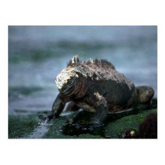 Iguana marina en roca tarjetas postales