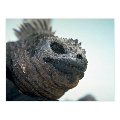 Iguana marina postales