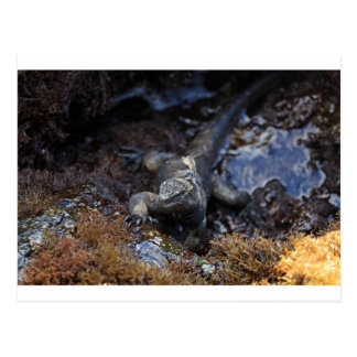 Iguana marina que alimenta en las islas de las Isl