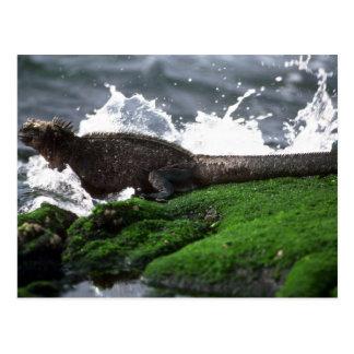 Iguana marina que nada hacia fuera para alimentar tarjetas postales