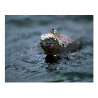 Iguana marina que nada hacia fuera para alimentar tarjeta postal