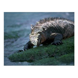 Iguana marina que pasta en algas postal