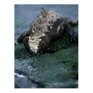Iguana marina que pasta en algas tarjetas postales