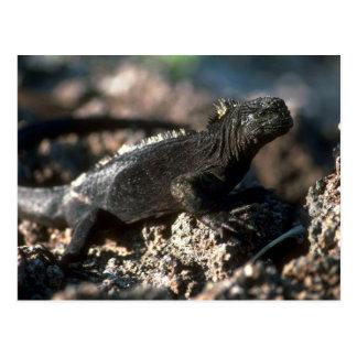 Iguana marina tarjetas postales