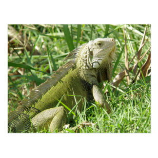 Iguana Puerto Rico Postales