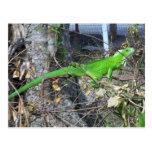 Iguana que toma el sol en el La Román, Trinidad Postal