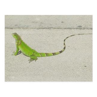 Iguana salvaje postales