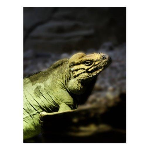 Iguana Tarjetas Postales